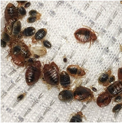 Bed bugs removal in Canterbury