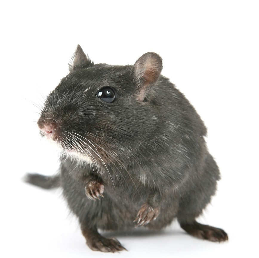 rodent pest control in Canterbury